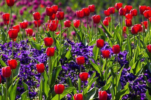 Maiblumen Tulpen