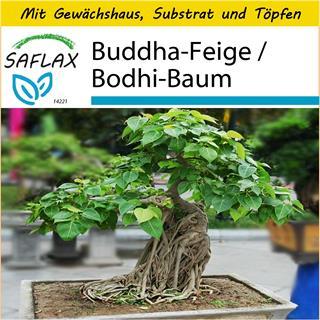 Saflax Anzucht Set B Buddha Feige Bodhi Baum Ficus 100
