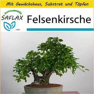 Saflax Anzucht Set B Felsenkirsche Prunus 30 Samen Gunstig