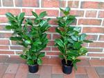 10-kirschlorbeer-pflanzen-hoehe-70-80-cm-ab-topf-prunus-novita-hecke-3039249-1.jpg