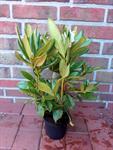 10-rhododendron-rosa-bluete-hoehe-50-60-cm-ab-topf-roseum-elegans-hecken-3039238-1.jpg