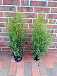 10-stk-thuja-brabant-lebensbaum-hoehe-50-60-cm-heckenpflanzen-3039229-1.jpg