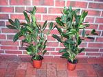 20-kirschlorbeer-pflanzen-50-60-cm-ab-topf-prunus-caucasica-hecke-buschig-3039235-1.jpg