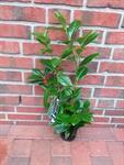 40-kirschlorbeer-pflanzen-hoehe-40-50-cm-prunus-rotundifolia-heckenpflanzen-3039221-1.jpg
