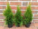 40-stueck-thuja-occidentalis-smaragd-edelthuja-hoehe-30-40-cm-ab-topf-zypresse-3039228-1.jpg
