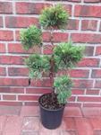 bonsai-wacholder-gruengelb-60-70-cm-juniperus-media-old-gold-duenger-3039202-1.jpg