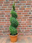 buchsbaum-spirale-buxus-sempervirens-110-120-cm-formpflanze-duenger-3029978-1.jpg