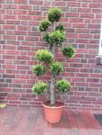gartenbonsai-zypresse-170-180-cm-hellgruene-nadeln-stardust-bonsai-duenger-3062738-1.jpg