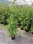 kletter-hortensie-150-160-cm-hydrangea-petiolaris-duenger-3033181-1.jpg
