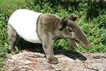 hansa-anima-tapir-35-cm-3060797-1.jpg