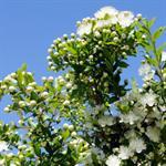 mirto-bianco-biologico-weisser-myrpenlikoer-silvio-carta-zeddiani-07lt-1659748-1.jpg